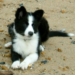 Border Collie Puppies on Border Collies  Border Collie   Puppies For Sale  Border Collie Info U