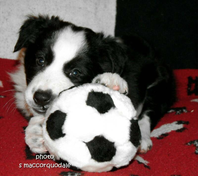 border Collies sale Uk