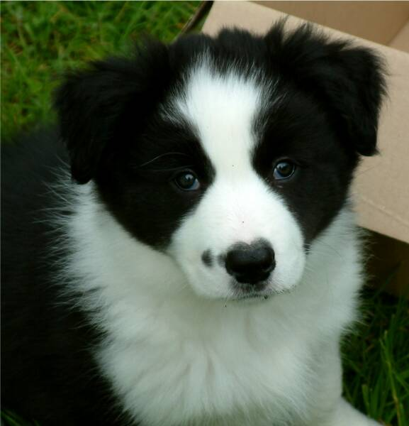 Black And White Border Collie Puppies Border Collie Puppy Photos