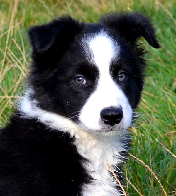 Yes We Are Expecting Border Collie Puppies